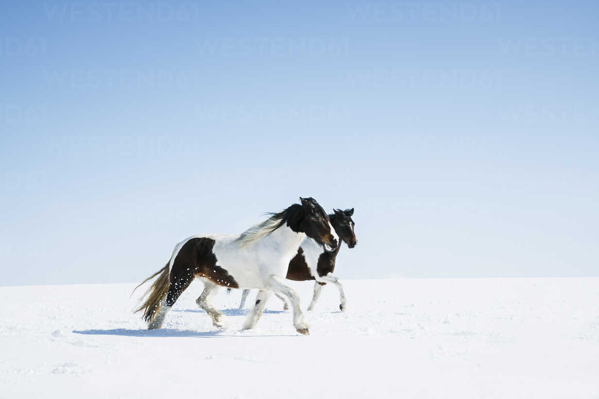 Horses running in snowy field - FSIF03345 - Julia Christe/Westend61