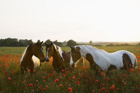 Brown and white horses in tranquil, rural field with wildflower poppies - FSIF03351