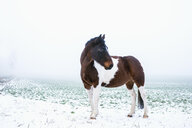Beautiful brown and white horse in snowy, rural field - FSIF03363