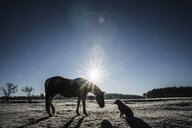 Sun shining behind horse and dog in winter field - FSIF03369
