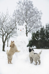 Playful dogs jumping on snowman - FSIF03390