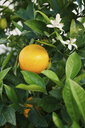 Fresh, yellow lemon growing on tree - FSIF03402