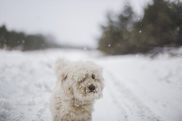 White hairy dog standing on snow covered field during snowfall - CAVF49604