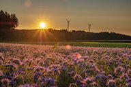 Germany, flowering scorpionweed in summer, wind park at sunset - HAMF00475