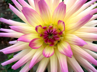 Close-up of a Dahlia - JTF01100
