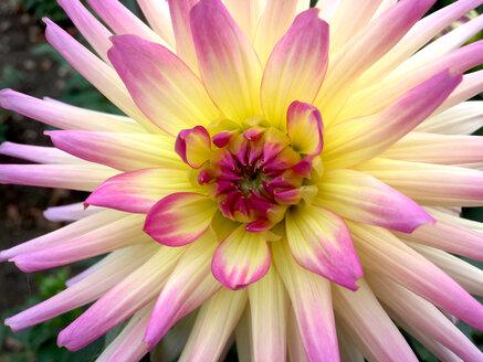 Close-up of a Dahlia - JTF01100
