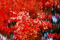 Germany, Maple tree in autumn, abstract - JTF01106