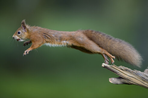 Jumping red squirrel carrrying hazelnut in mouth - MJOF01587