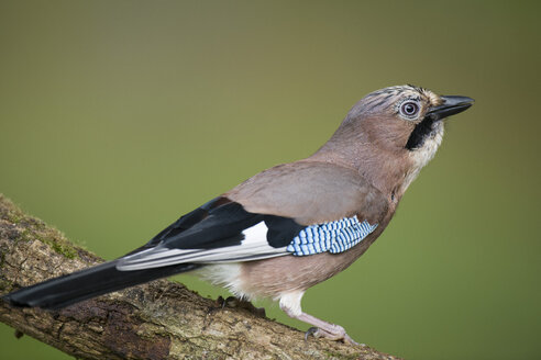 Eurasian jay on a branch - MJOF01590