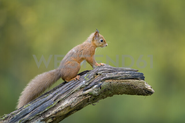 Red squirrel sitting on tree trunk - MJOF01593
