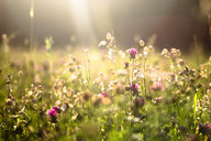 Summer meadow at evening twilight - SARF03956