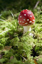 Flying agaric in forest - CRF02804