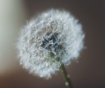 Close-up of water drops on dandelion seed during rainy season - CAVF49763