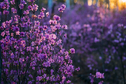 Pink wildflowers at evening twilight - VPIF00918