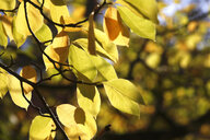 Saucer Magnolia, leaves in autumn - JTF01107