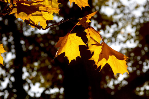 Germany, maple leaves in autumn - JTF01110