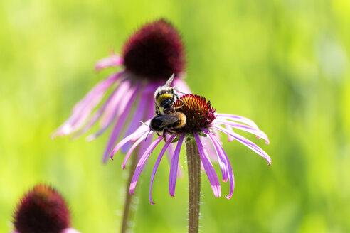 Botanic Garden, honeybees on purple coneflower - NDF00806