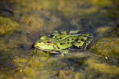Pool frog, Rana esculenta - NDF00809