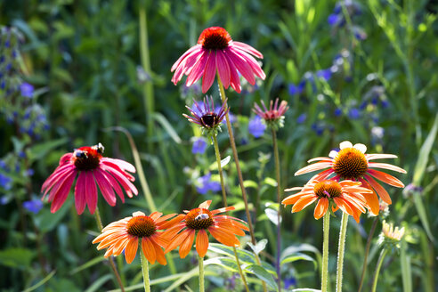 Botanic Garden, honeybees on coneflowers - NDF00812