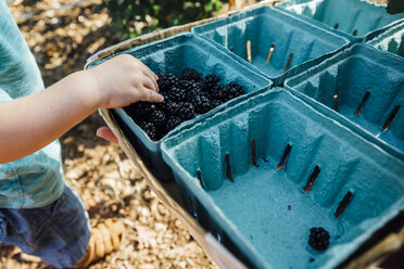 Low section of baby boy taking blackberries from box at farm - CAVF50228
