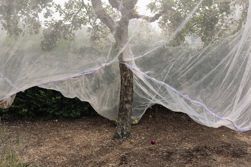 Protective mesh fabric covering apple trees bearing young fruit in summer in a commercial orchard. Pesticide-free farming and food production. - MINF09078