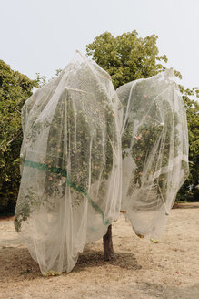 Protective mesh fabric covering apple trees bearing young fruit in summer in a commercial orchard. Pesticide-free farming and food production. - MINF09081