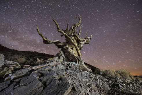 Low angle view of Bristlecone Pine against star trails at night - CAVF50703