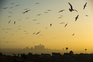 Low angle view of silhouette birds flying against sky in city during sunset - CAVF50943