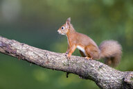 Red squirrel on a tree trunk - MJOF01597