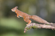 Jumping red squirrel - MJOF01600