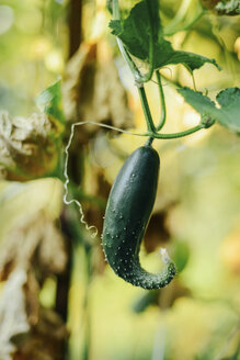 Close-up of cucumber growing on creeper plant at vegetable garden - CAVF51207
