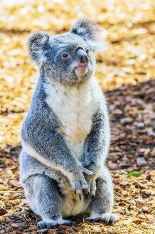 Australia, Korala, Phascolarctos cinereus - THAF02308