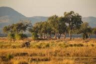 Elephant (Loxodonta Africana), Mana Pools, Zimbabwe - CUF46508