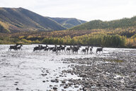 Deer running in river at Yukon_Charley Rivers National Preserve - CAVF51489