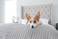Portrait of Welsh Corgi on blanket at home - CAVF51921