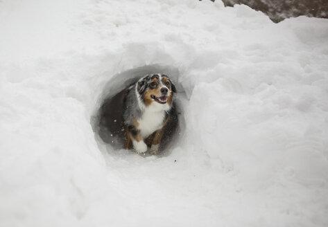 Australian shepherd walking out of snow tunnel - CAVF51924