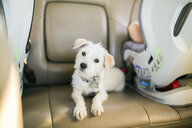 Portrait of white puppy sitting on vehicle seat in car - CAVF51972