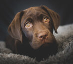 Close-up of dog lying on carpet at home - CAVF51987
