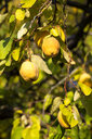 Ripe quinces at tree in autumn - NDF00813