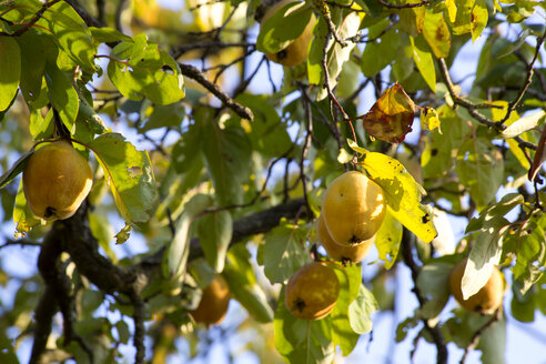 Ripe quinces at tree in autumn - NDF00816