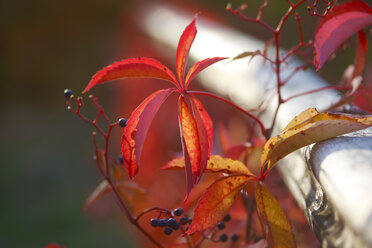 Virginia creeper, Vitis vinifera, leaves in autumn - JTF01119