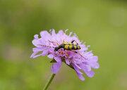 Albania, Theth National Park, Spotted Longhorn, Rutpela maculata, on flower - SIEF08090