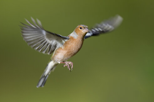 Male Chaffinch, Fringilla coelebs, flying - MJOF01607