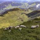 Austria, Tyrol, Fieberbrunn sheep in mountainscape - PSIF00149