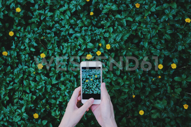 Human hands taking photo of flowers of green plant holding cell phone - INGF05749