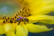 Close-up of bee on yellow sunflower. - INGF05758