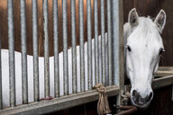 A grey horse looking out of its box at a livery stable. - MINF09375