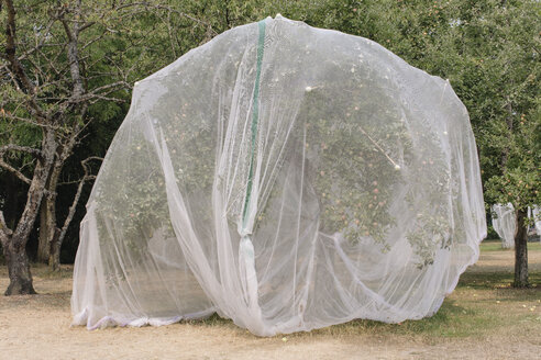 Protective mesh fabric covering apple trees bearing young fruit in summer in a commercial orchard. Pesticide-free farming and food production. - MINF09465