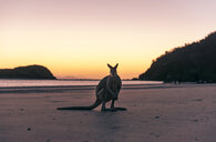 Australia, Queensland, kangaroo at the beach in the morning - GEMF02489
