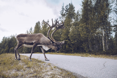 Reindeer crossing a country road in Finland - RSGF00120